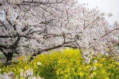 De tunnel van de kersenbloesem en gebieden van gele het bloeien nanohana bij het Park van Kumagaya Arakawa Ryokuchi in Kumagaya,  Stock Fotografie
