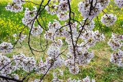 De tunnel van de kersenbloesem en gebieden van gele het bloeien nanohana bij het Park van Kumagaya Arakawa Ryokuchi in Kumagaya,  Stock Foto