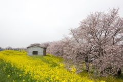 De tunnel van de kersenbloesem en gebieden van gele het bloeien nanohana bij het Park van Kumagaya Arakawa Ryokuchi in Kumagaya,  Royalty-vrije Stock Foto's