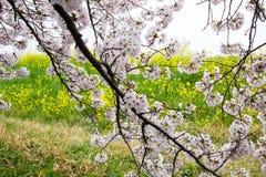 De tunnel van de kersenbloesem en gebieden van gele het bloeien nanohana bij het Park van Kumagaya Arakawa Ryokuchi in Kumagaya,  Stock Afbeeldingen