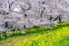 De tunnel van de kersenbloesem en gebieden van gele het bloeien nanohana bij het Park van Kumagaya Arakawa Ryokuchi in Kumagaya,  Royalty-vrije Stock Foto