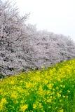 De tunnel van de kersenbloesem en gebieden van gele het bloeien nanohana bij het Park van Kumagaya Arakawa Ryokuchi in Kumagaya,  Stock Afbeelding