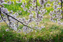 De tunnel van de kersenbloesem en gebieden van gele het bloeien nanohana bij het Park van Kumagaya Arakawa Ryokuchi in Kumagaya,  Royalty-vrije Stock Afbeeldingen