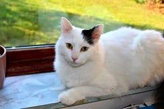De Turkse Bestelwagen van het kattenras of Turkse Angorawol Stock Afbeeldingen