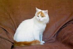 De Turkse volwassen kat van de Bestelwagen Royalty-vrije Stock Foto's