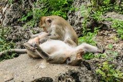 De två aporna tillsammans Arkivfoto