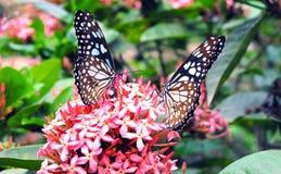 De två butterflyesna på blomman royaltyfri foto