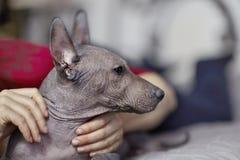 De två månaderna gammal valp av den sällsynta aveln - Xoloitzcuintle eller mexicansk hårlös hund, standart format med handen av d arkivbild