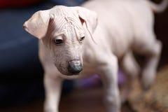 De två månaderna gammal valp av den sällsynta aveln - Xoloitzcuintle eller mexicansk hårlös hund, standart format tät stående upp royaltyfria foton