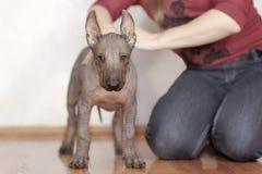 De två månaderna gammal valp av den sällsynta aveln - Xoloitzcuintle eller mexicansk hårlös hund, standart format tät stående upp royaltyfri bild