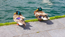 De twee eenden bij oever van het meer lopen manier in Genève, Zwitserland Royalty-vrije Stock Afbeeldingen