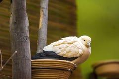 De twee gekleurde duif Latijnse naam Tweekleurige Ducula zit op het nest stock afbeelding