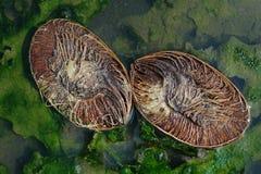 De twee helften van een oude kokosnoot liggen diagonaal in een vulklei, is het water een heldergroene kleur met bladeren en schim Royalty-vrije Stock Afbeeldingen