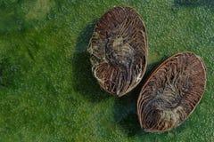 De twee helften van het oude bruine kokosnotenwater op de originele natuurlijke groene achtergrond van water, verlieten een lege  Stock Afbeelding