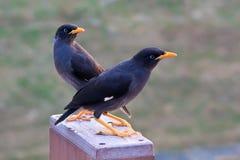 De twee Kuifvogels Myna stock afbeelding