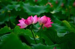 De twee lotusbloembloemen Royalty-vrije Stock Foto's