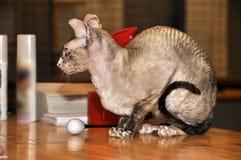 De tweekleurige kat van Devon rex Stock Afbeelding