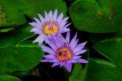 De tweeling purpere bloesem van de lotusbloembloem Stock Foto's