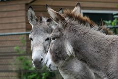 De tweeling van de ezel stock fotografie