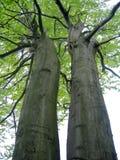 De tweelingen van de boom Stock Foto's