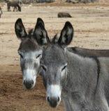 De Tweelingen van de ezel Stock Foto