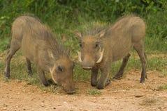 De Tweelingen van het wrattenzwijn Stock Afbeeldingen