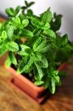 Het Kruid van de pepermunt Stock Fotografie