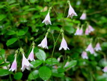 De Twinflowers fin  Photographie stock