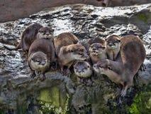de twistzieke familie, Oosterse klein-gekrabde otter, cinerea Amblonyx, is zeer lawaaierig stock foto