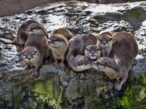 de twistzieke familie, Oosterse klein-gekrabde otter, cinerea Amblonyx, is zeer lawaaierig stock afbeelding