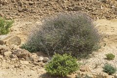 De typische Eilat-Vegetatie van de Bergenwoestijn stock afbeeldingen