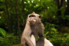 De Ubud-Aap Royalty-vrije Stock Foto's