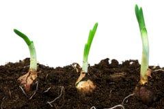De uien van de lente in grond Stock Foto