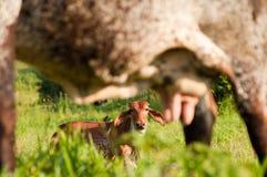De uier van de koe stock afbeeldingen