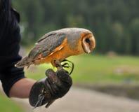 De uil alba Tyto van de Schuur Royalty-vrije Stock Foto's