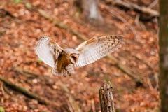 De uil alba Tyto van de Schuur Stock Foto's