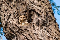 De uil in het nest die voor een camera gluren stelt royalty-vrije stock fotografie