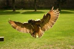 De uil tijdens een vlucht in Schotland toont stock foto's