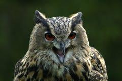 De uil van de adelaar Royalty-vrije Stock Foto