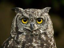 De uil van de adelaar Royalty-vrije Stock Afbeelding