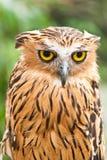 De uil van de adelaar Royalty-vrije Stock Fotografie
