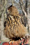 De uil van de adelaar Stock Afbeeldingen