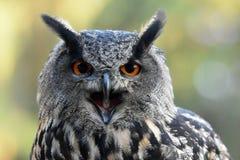 De uil van de adelaar Stock Afbeelding