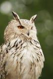 De Uil van de adelaar (bubo Bubo) royalty-vrije stock afbeelding