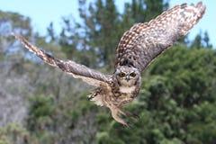 De Uil van de adelaar tijdens de vlucht Stock Foto