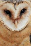 De uil van de schuur Stock Foto