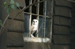 De Uil van de schuur - alba Tyto Royalty-vrije Stock Foto