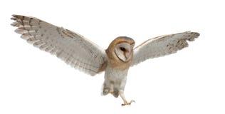 De Uil van de schuur, alba Tyto, 4 maanden oud, het vliegen Royalty-vrije Stock Foto's