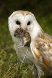 De Uil van de schuur vangt een veldmuis Stock Foto's