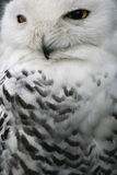 De Uil van de sneeuw Stock Fotografie